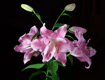 Stargazer Lily Royalty Free Stock Image