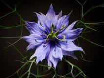Stargazer Lily. Close-up of a Stargazer lily Stock Photography