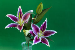 Stargazer Lily Flower Royalty Free Stock Photo