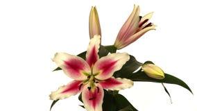 Stargazer Lily Flower Time-lapse