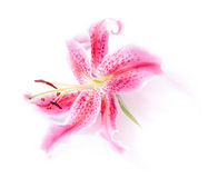 Stargazer lily isolated. Pink stargazer lily flower head on a white background with a subtle shadow effect Royalty Free Stock Photos