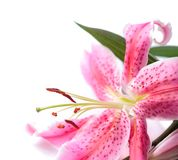 Stargazer lily isolated Stock Photo