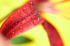 Stargazer Lily Macro. Stargazer Lily on Yellow Background. Macro Shoot Royalty Free Stock Photo