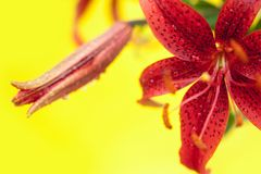 Stargazer Lily on Yellow. Lilies with water drops on a yellow background Stock Photos