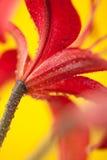 Stargazer Lily on Yellow Background. Petals of a lily with water drops on a yellow background Royalty Free Stock Photos