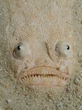 Stargazer. Macro portrait of the face of a Stargazer buried in white sand Stock Photos