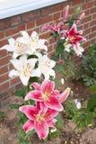 Stargazer oriental lilies stock photo