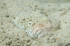 Stargazer priest fish while hiding in sand in Philippines Stock Photography