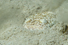 Stargazer priest fish while hiding in sand in Philippines Stock Photo