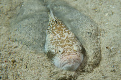 Stargazer priest scorpion fish Stock Images