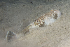 Stargazer priest scorpion fish Royalty Free Stock Photo