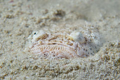 Stargazer priest scorpion fish. While hiding in the sand Royalty Free Stock Photography