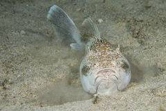 Stargazer priest scorpion fish Stock Photography