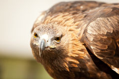 Stargin golden eagle Stock Photo