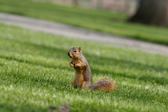 Staring. Squirrel standing Stock Photo