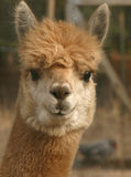 Staring Alpaca. A head-on alpaca face Stock Photos