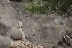 Staring. A baboon staring off into the distance Royalty Free Stock Photo