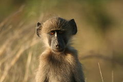 Staring baby. Young chacma baboon just staring Stock Images