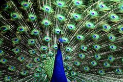 Staring Back at You. Peacock with feathers details Royalty Free Stock Image