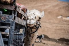 Staring Bedouin Camel stock photography