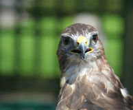 Staring bird of prey Stock Photo