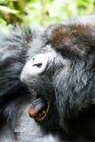 Gorilla in Virunga reserve, Rwanda. Staring black gorilla in Virunga reserve, Rwanda Royalty Free Stock Photography