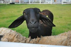 Staring Black sheep Royalty Free Stock Image