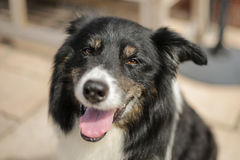 Staring border collie portrait. Staring border collie eyes shallow DOF Royalty Free Stock Photography
