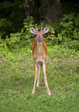 Staring buck Royalty Free Stock Photography