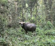 Staring the bull in the eye at Chilapata forest Stock Photography