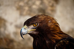 Staring buzzard Stock Images