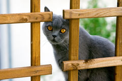 Staring Cat Royalty Free Stock Images