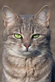 Staring cat. With green eyes Royalty Free Stock Photos