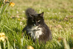 Staring cat. Staring black white cat grass garden Stock Photos