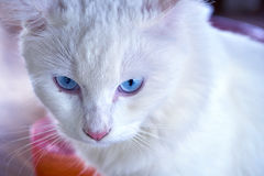 Staring from a cat. Close up face of blue eyes white cat staring out royalty free stock photo