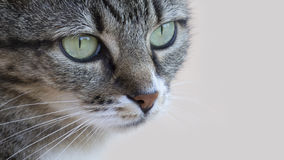 Staring Cat. Close up landscape view of a staring cat with green copyspace Stock Photography