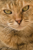 Staring Cat. Close-up Portrait of Yellow Cat Facing Camera Stock Photography