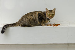 Staring cat Stock Image