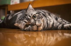 A staring cat lying on floor. Shoot a cat staring me on the floor Stock Images