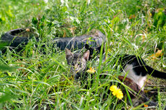 Staring cat's eyes. Two cats in ambush looking in the same direction Royalty Free Stock Image