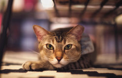 A staring cat. Shoot a cat stared at me under a table Royalty Free Stock Images