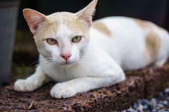 Staring Cat. The siamese cat is staring at you Stock Image