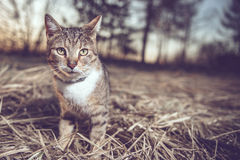 Staring cat sitting in the hay Stock Images