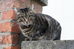 Staring cat on the wall. With bricks in background Stock Images