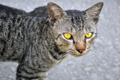 Cat. A staring cat with yellow eyes Stock Images