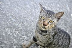 Cat. A staring cat with yellow eyes Royalty Free Stock Photo