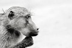 Staring Chacma Baboon resting on its hand. Monochrome chacma baboon. Papio ursinus. Relaxed baboon staring just after the rain Stock Image