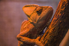 Staring Chameleon Royalty Free Stock Photos