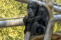 Staring chimpanzee. A chimpanzee in zoo with a look of sadness, deep thoughts or... Too many ways to interpret royalty free stock photos