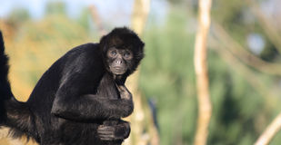 Staring Colombian Spider Monkey Stock Photo